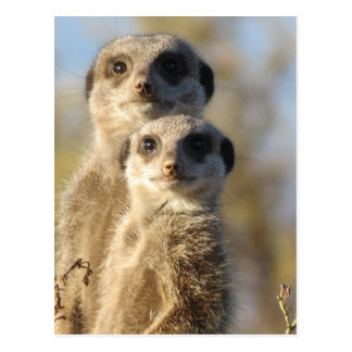 Meerkats Postales