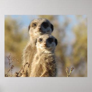 Meerkats Print