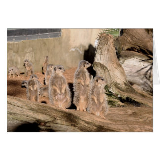 Meerkats Felicitacion