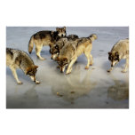 Meet the Wolf Pack Posters