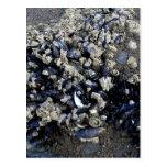 Mejillones - costa Tidepool de Oregon Postales