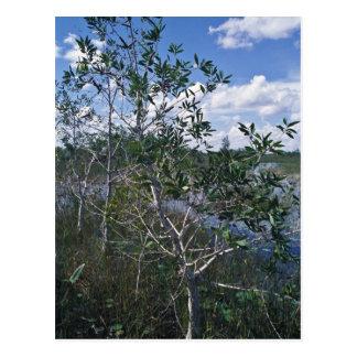 Melaleuca in swamp area postcard