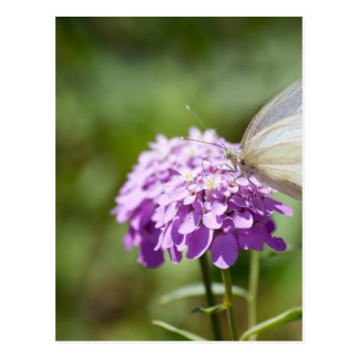 Melanargia larissa kind of anatolia butterfly postcard