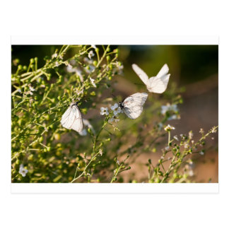 Melanargia larissa type of anatolia butterflies postcard