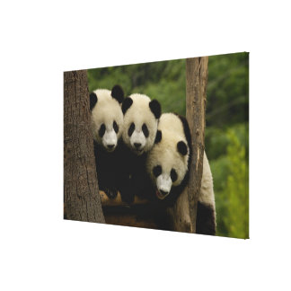 Melanoleuca del Ailuropoda de los bebés de la pand Impresión En Lona Estirada