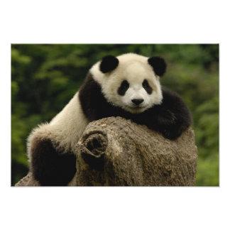 Melanoleuca) del Ailuropoda del bebé de la panda g Fotografías