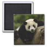 Melanoleuca) del Ailuropoda del bebé de la panda g Imán Cuadrado