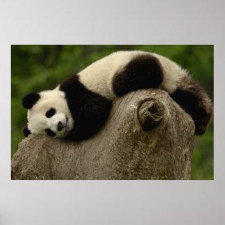 Melanoleuca) del Ailuropoda del bebé de la panda g Impresiones