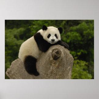Melanoleuca) del Ailuropoda del bebé de la panda g Posters