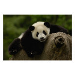 Melanoleuca) del Ailuropoda del bebé de la panda g Poster
