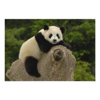 Melanoleuca) del Ailuropoda del bebé de la panda g Impresión Fotográfica