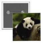 Melanoleuca) del Ailuropoda del bebé de la panda g Pins