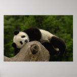 Melanoleuca) del Ailuropoda del bebé de la panda g Póster