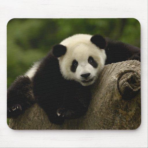 Melanoleuca) del Ailuropoda del bebé de la panda g Tapetes De Raton