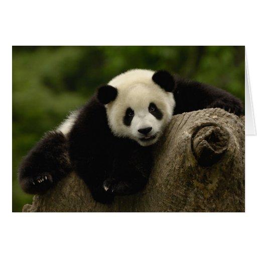 Melanoleuca) del Ailuropoda del bebé de la panda g Tarjetón