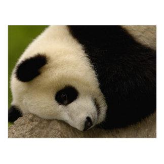 Melanoleuca) del Ailuropoda del bebé de la panda g Tarjeta Postal