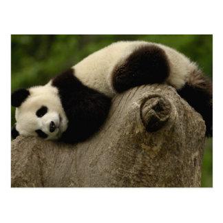Melanoleuca) del Ailuropoda del bebé de la panda g Tarjetas Postales