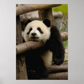 Melanoleuca del Ailuropoda del bebé de la panda gi Impresiones