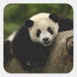 Melanoleuca) del Ailuropoda del bebé de la panda Calcomanía Cuadrada