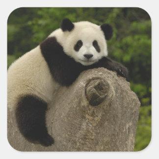 Melanoleuca) del Ailuropoda del bebé de la panda Pegatina Cuadrada