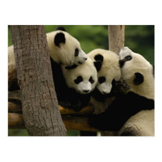 Melanoleuca) del Ailuropoda del bebé de la panda Postal