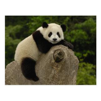 Melanoleuca) del Ailuropoda del bebé de la panda Tarjeta Postal