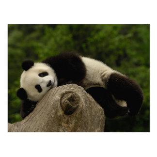 Melanoleuca) del Ailuropoda del bebé de la panda Tarjetas Postales