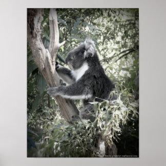 Melbourne - koala que se sienta en el árbol de póster