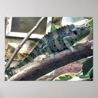 Meller's Chameleon - Chamaeleo melleri Poster