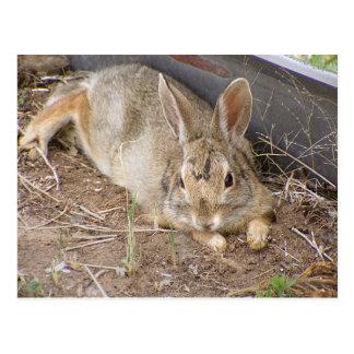 Mellow Bunny Postcard