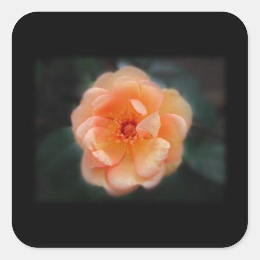 Melocotón - rosa amarillo, en negro calcomania cuadrada personalizada