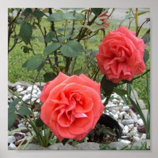 Melón Rosa rosado Póster