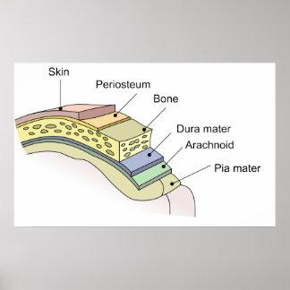 Meninges the Central Nervous System Membranes Poster