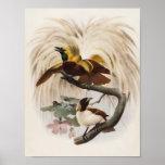 Menor de Elliot - de Paradisea - poca ave del para Impresiones