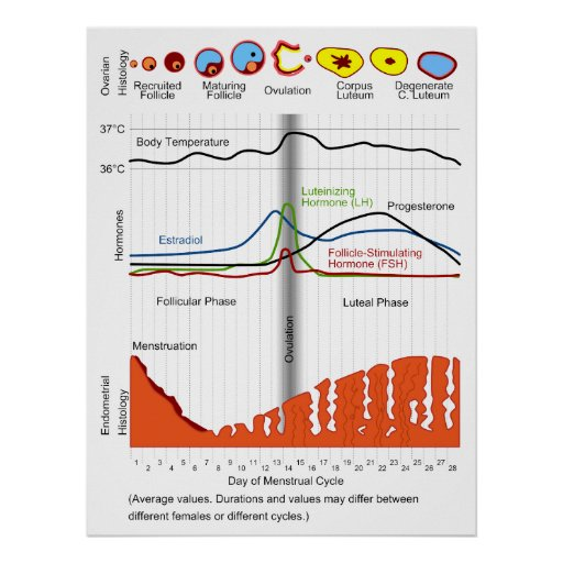Menstrual Cycle in Fertile Female Humans and Apes Poster