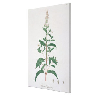 Mentha Piperita from 'Phytographie Medicale' by Jo Canvas Print
