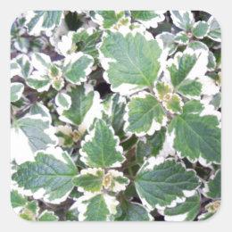 Mentha suaveolens square sticker