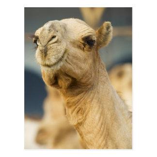 Mercado del camello cerca de El Cairo, Egipto Tarjetas Postales