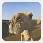 Mercado del camello, El Cairo, Egipto Pegatina Cuadrada