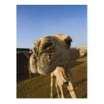 Mercado del camello, El Cairo, Egipto Tarjetas Postales