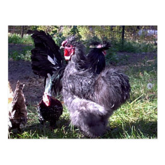 """Merlin"" Blue Silkie Bantam Rooster Postcard"