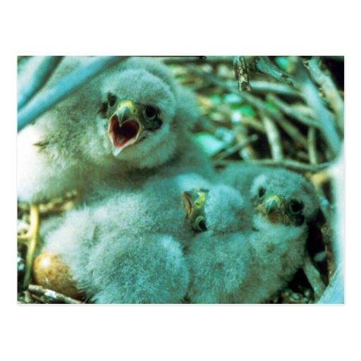 Merlin Chicks in Nest Postcard