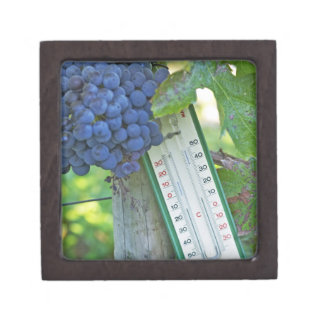 Merlot grapes at Chateau la Grave Figeac, a Gift Box