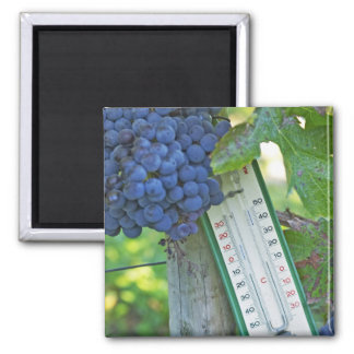 Merlot grapes at Chateau la Grave Figeac, a Refrigerator Magnets