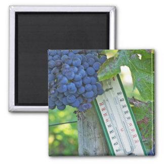 Merlot grapes at Chateau la Grave Figeac, a Refrigerator Magnets