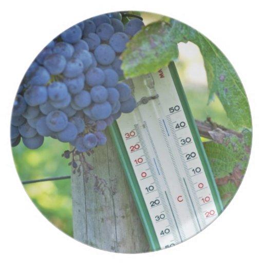 Merlot grapes at Chateau la Grave Figeac, a Party Plates