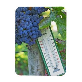 Merlot grapes at Chateau la Grave Figeac, a Flexible Magnets