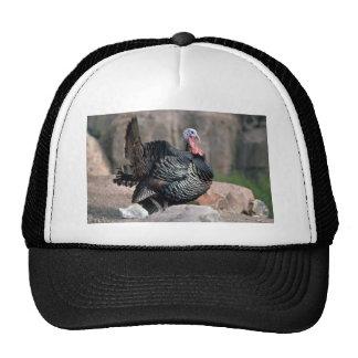 Merriams wild turkey, gobbler strutting hats