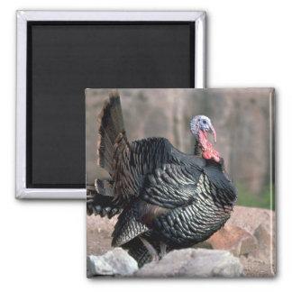 Merriams wild turkey, gobbler strutting fridge magnets