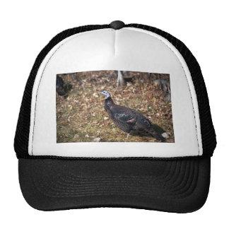 Merriams wild turkey, hen hats